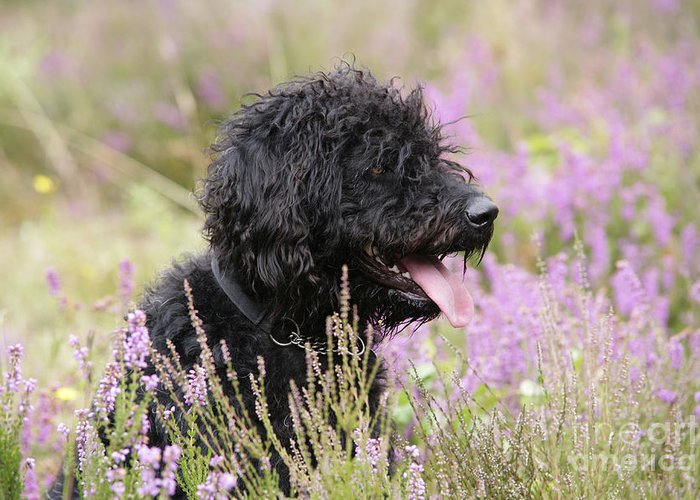 Black Labradoodle Greeting Card featuring the photograph Black Labradoodle by John Daniels
