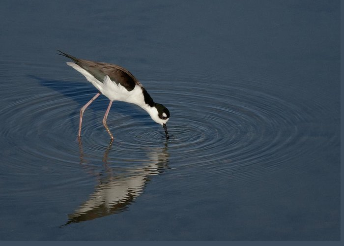 Black Necked Greeting Card featuring the photograph Black Necked Stilt by Betty Depee