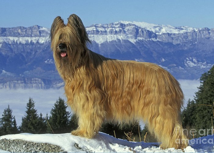 Briard Greeting Card featuring the photograph Briard Dog by Jean-Michel Labat