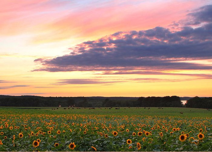 Sunflowers Greeting Card featuring the photograph Buttonwood Farm by Andrea Galiffi