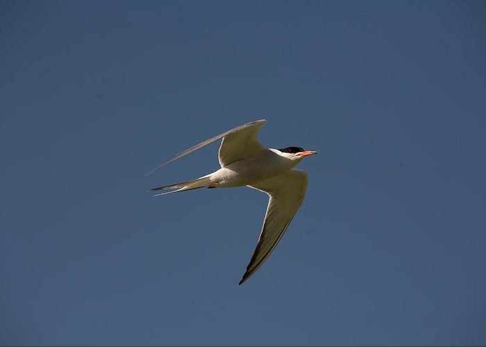 Birds Greeting Card featuring the photograph Common Tern, Sterna Hirundo, On Eastern by Jose Azel
