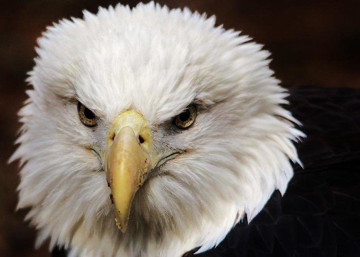 Bird Greeting Card featuring the photograph Eagle  by Paulette Thomas
