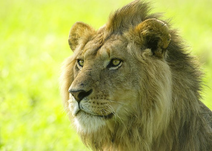 Lion Greeting Card featuring the photograph Golden Boy by Michele Burgess