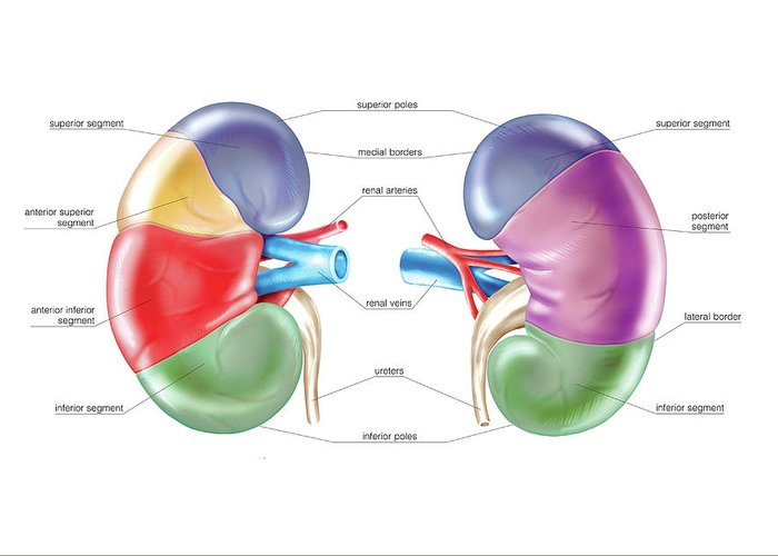 Renal Segments Greeting Card featuring the photograph Kidney 4 by Asklepios Medical Atlas