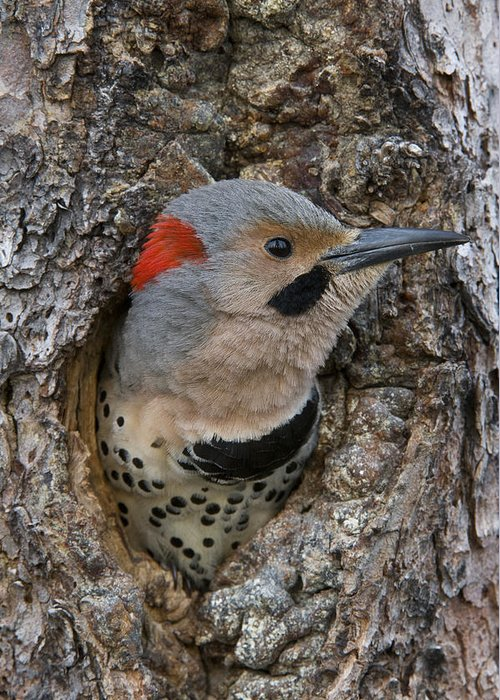 Michael Quinton Greeting Card featuring the photograph Northern Flicker In Nest Cavity Alaska by Michael Quinton