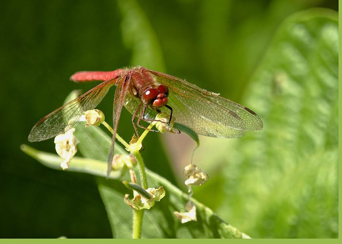 Dragonfly Greeting Card featuring the photograph Red Dragonfly by Betty Depee