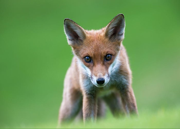 Conspiracy Greeting Card featuring the photograph Red Fox Cub Portrait by James Warwick