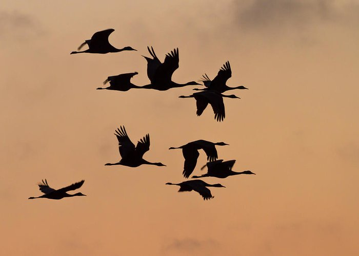 Avian Greeting Card featuring the photograph Sandhill Cranes (grus Canadensis by William Sutton