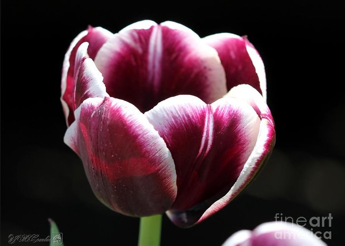 Mccombie Greeting Card featuring the photograph Triumph Tulip Named Jackpot by J McCombie