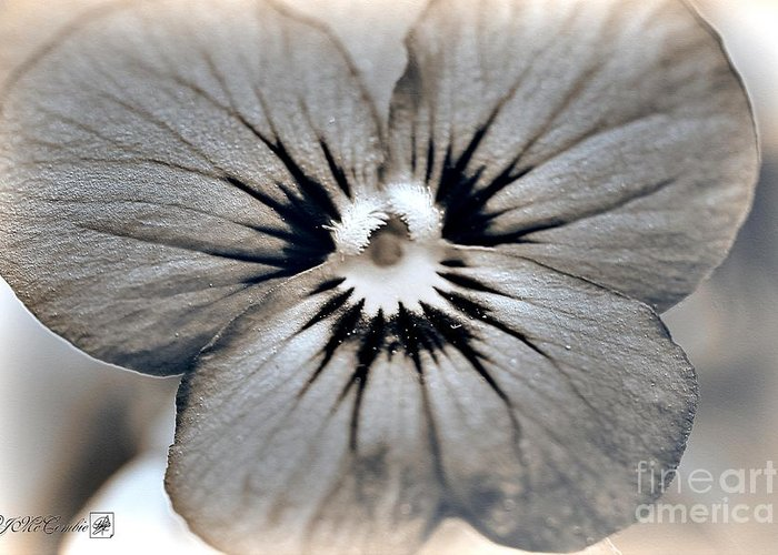 Mccombie Greeting Card featuring the photograph Viola Named Sorbet Blue Heaven Jump-up by J McCombie