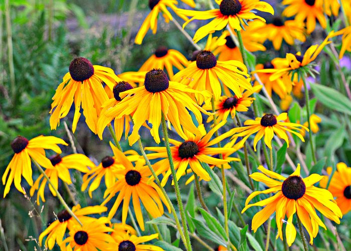 Black Eyed Susan Greeting Card featuring the photograph 4115 by Marty Koch