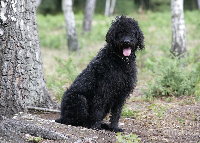 Labradoodle Greeting Card featuring the photograph Black Labradoodle by John Daniels