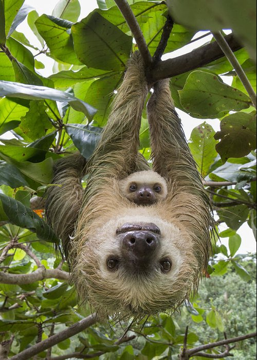 Suzi Eszterhas Greeting Card featuring the photograph Hoffmanns Two-toed Sloth And Old Baby by Suzi Eszterhas