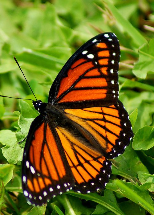 Monarch Greeting Card featuring the photograph Monarch Butterfly by Carol Toepke
