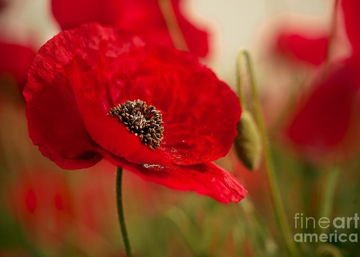 Red Poppy Greeting Cards