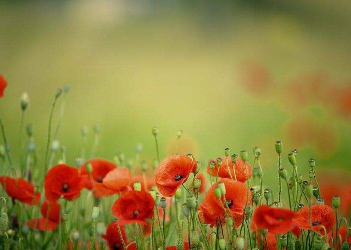 Poppy Greeting Card featuring the photograph Poppy Meadow by Nailia Schwarz