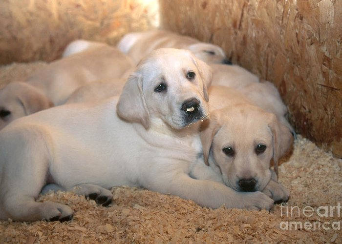 Yellow Lab Greeting Card featuring the photograph Yellow Labrador Retriever Puppies by Linda Freshwaters Arndt