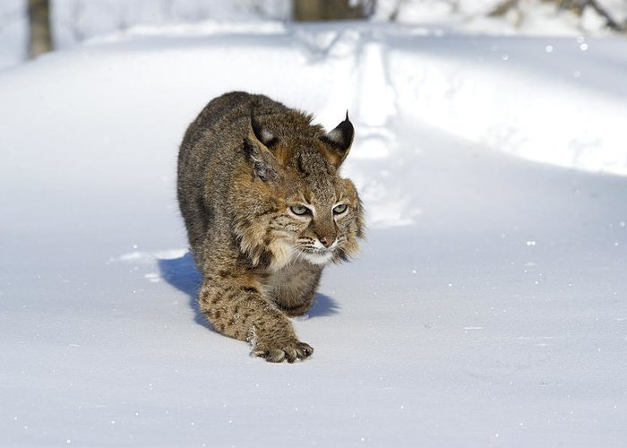 Cat Greeting Card featuring the photograph Bobcat Felis Rufus by Carol Gregory