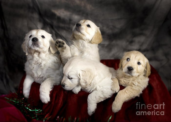 Dog Greeting Card featuring the photograph Festive Puppies by Angel Ciesniarska