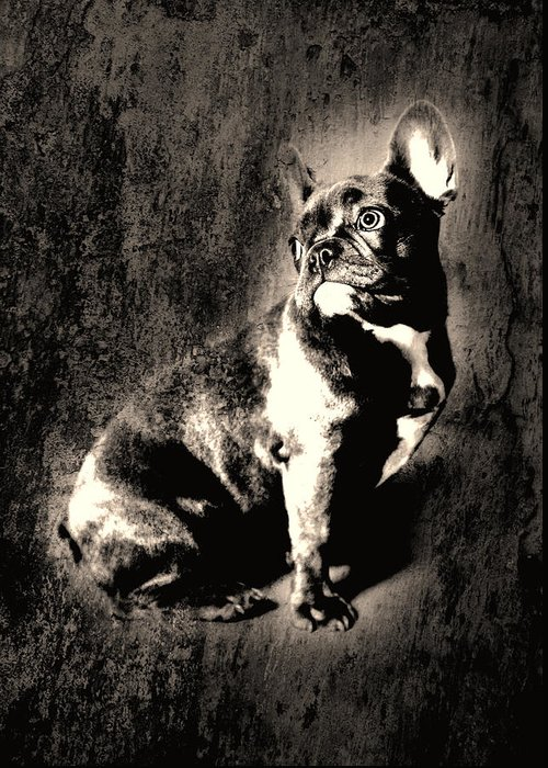 French Bulldog Greeting Card featuring the photograph French Bulldog by Falko Follert