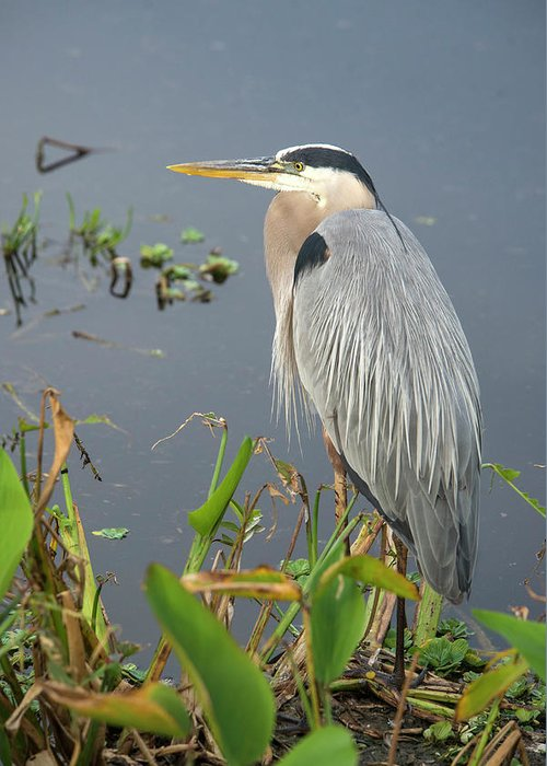Standing Water Greeting Card featuring the photograph Great Blue Heron by Mark Newman