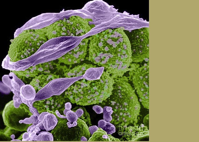 Microbiology Greeting Card featuring the photograph Methicillin-resistant Staphylococcus by Science Source