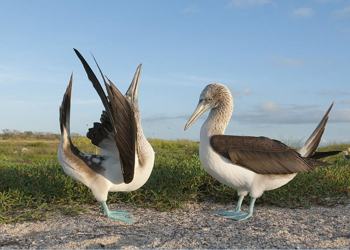531712 Greeting Card featuring the photograph Blue-footed Booby Pair Courting by Tui De Roy