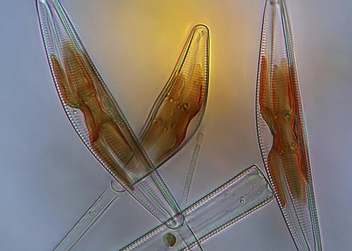 Alga Greeting Card featuring the photograph Diatoms, Light Micrograph by Science Photo Library