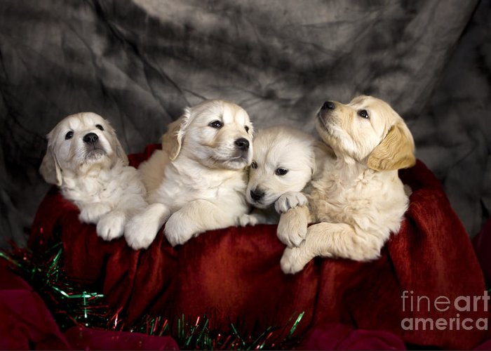 Dog Greeting Card featuring the photograph Festive Puppies by Angel Tarantella