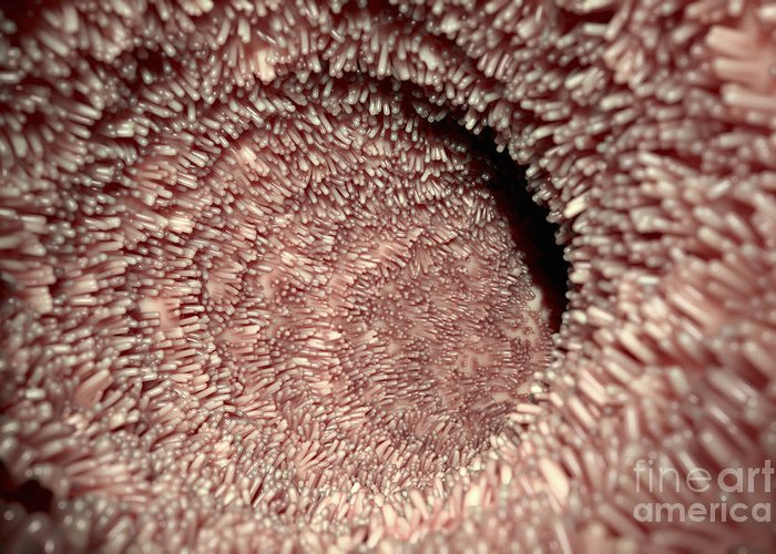 Intestinal Villi Greeting Card For Sale By Science Picture Co