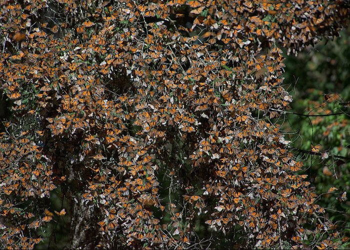 Animals Greeting Card featuring the digital art Monarch Butterflies by Carol Ailles