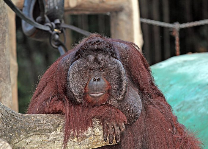Animal Greeting Card featuring the photograph Portrait Of A Large Male Orangutan by Paul Fell