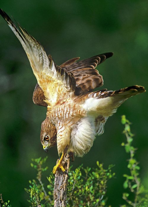 Buteo Lineatus Greeting Cards
