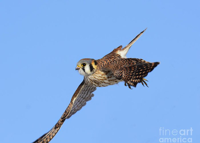 Bird Greeting Card featuring the photograph American Kestrel by Dennis Hammer