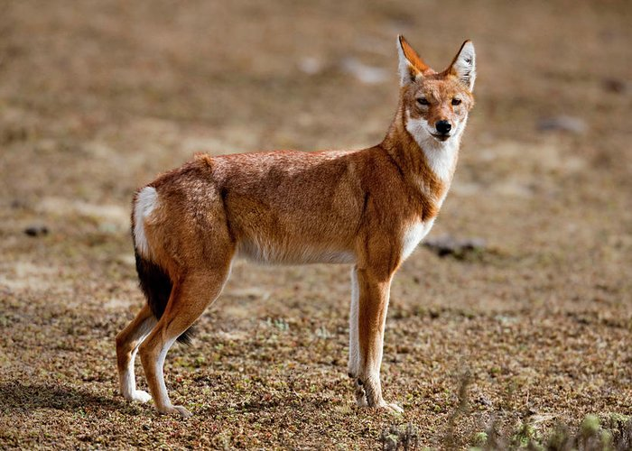 Abyssinia Greeting Card featuring the photograph Ethiopian Wolf (canis Simensis by Martin Zwick