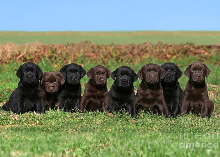 8 Labrador Retriever Puppies Brown And Black Side By Side Greeting