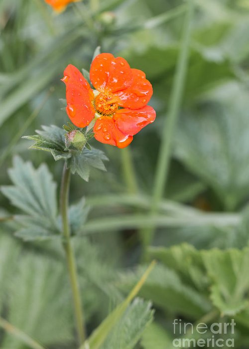 Bulgaria Greeting Card featuring the photograph Scarlet Avens Orange Wild Flower by Jivko Nakev