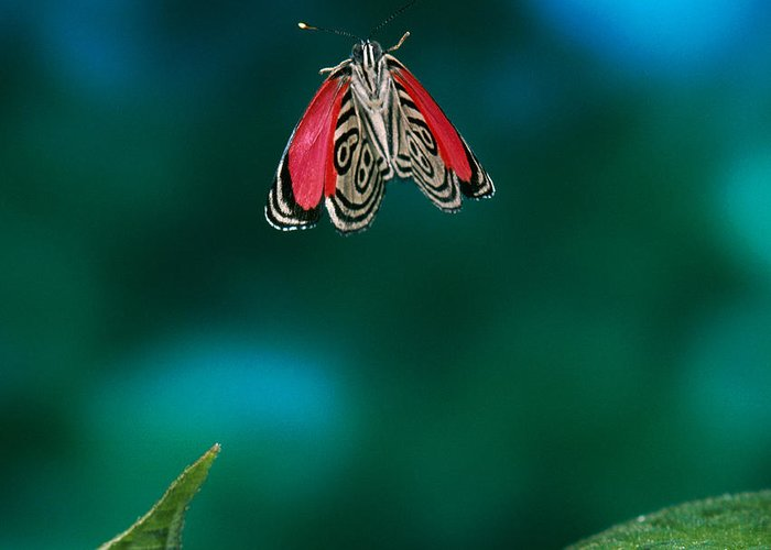 Animal Greeting Card featuring the photograph 89 Butterfly In Flight by Stephen Dalton