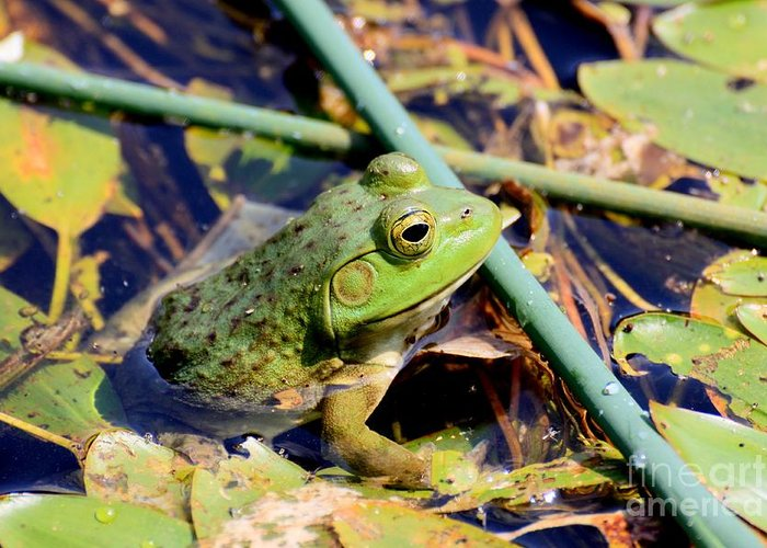Frog Greeting Card featuring the photograph Frog by Rick Rauzi