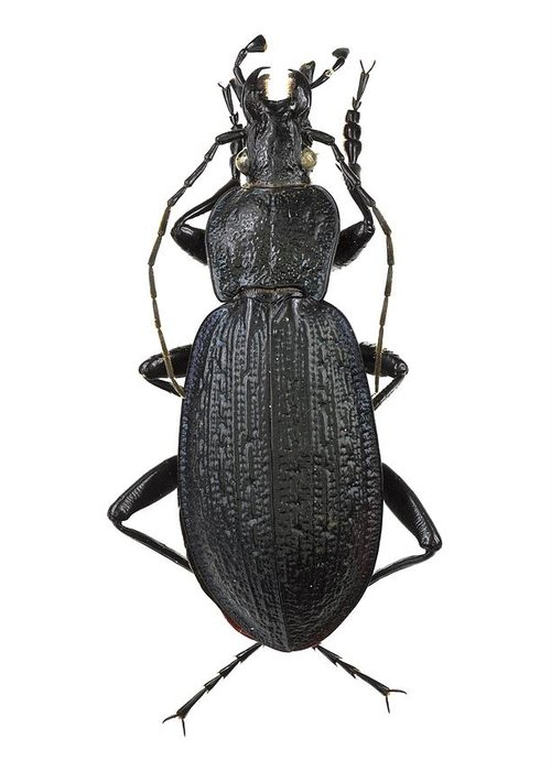 Entomology Greeting Card featuring the photograph Ground Beetle by Science Photo Library