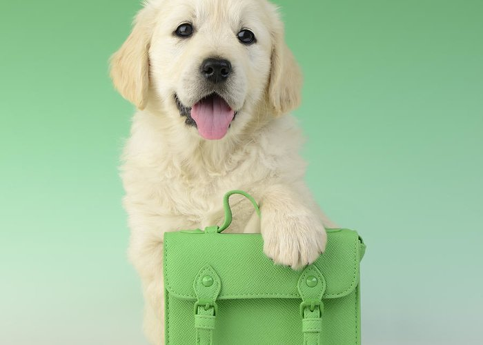 Satchell Greeting Card featuring the photograph 9 To 5 Labrador by Greg Cuddiford