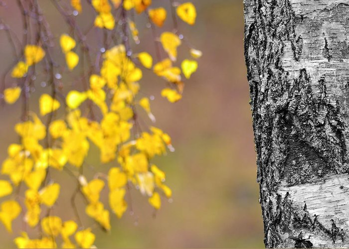 Birch Greeting Card featuring the photograph A Birch At The Lake by Tommytechno Sweden