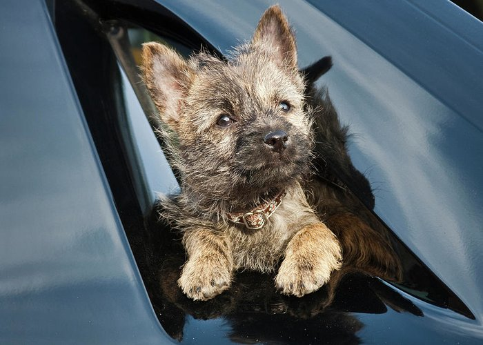 A Cairn Terrier Puppy Coming Greeting Card