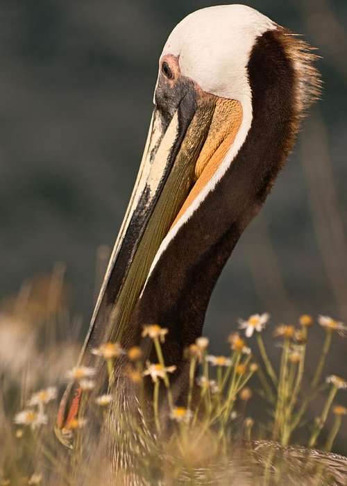 Brown Pelican Greeting Card featuring the photograph A Change Of Venue by Theo OConnor