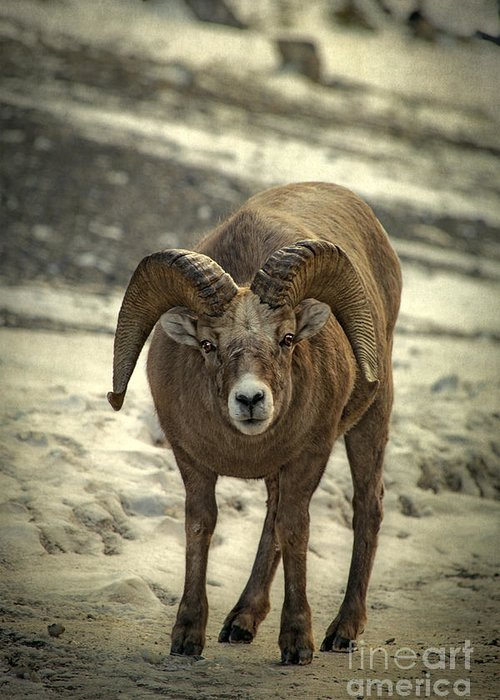 Rocky Mountain Bighorn Sheep Stationery