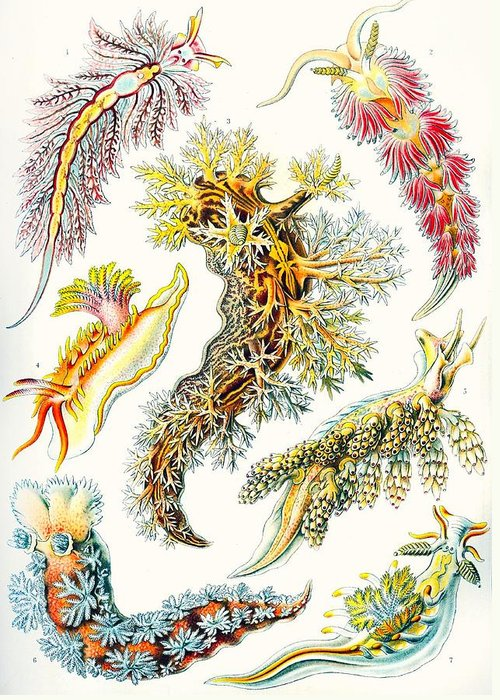 Vertical Greeting Card featuring the drawing A Collection Of Nudibranchia by Ernst Haeckel