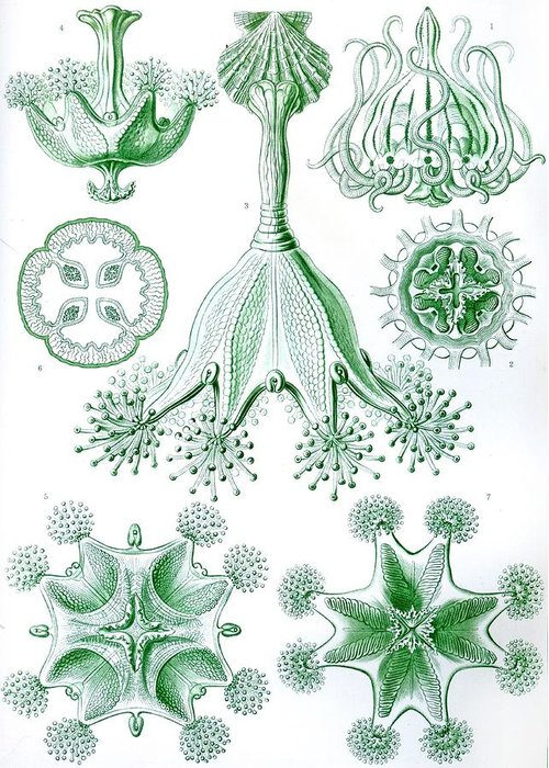 Vertical Greeting Card featuring the drawing A Collection Of Stauromedusae by Ernst Haeckel