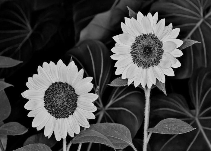 Monochrome Greeting Card featuring the photograph A Couple Of Sunflowers. by Digital Photographic Arts