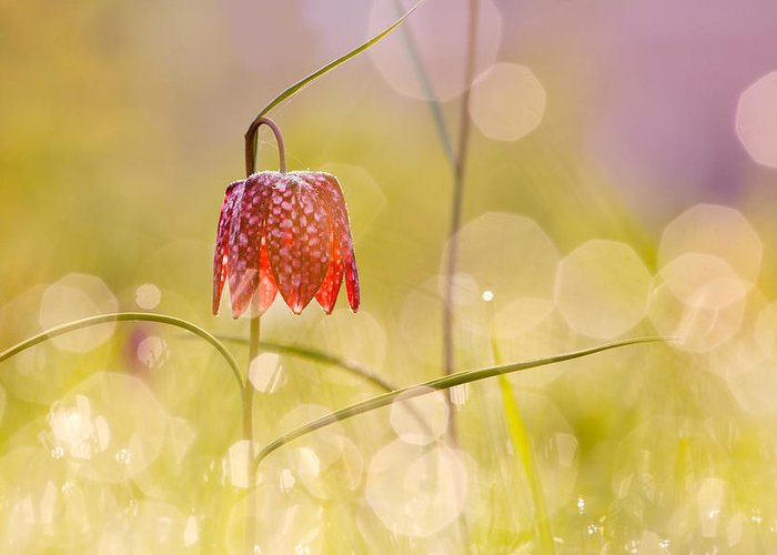 Dew Covered Flower Greeting Cards
