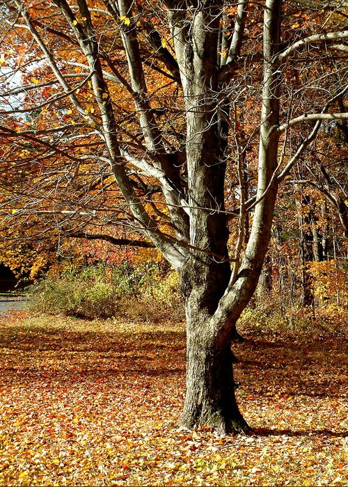 Tree Greeting Card featuring the photograph A Fall Tree In New England by Mike McCool